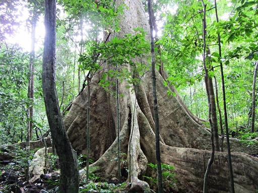 giant-lagerstroemia-tree-in-nam-cat-tien-park